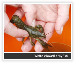 Legislation regarding Crayfish and trapping crayfish in England and Wales