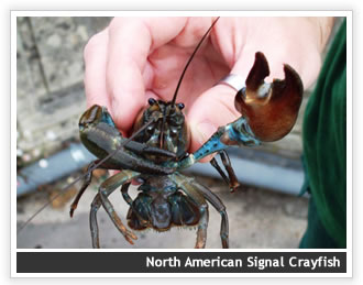 Crayfish conundrum for angling